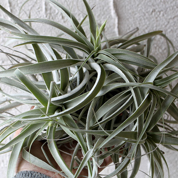 airplants002
