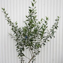 olive-m